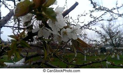 Flowering cherry tree in the garden