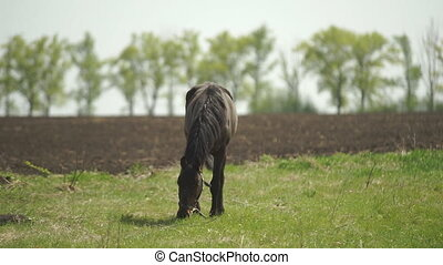 The Horse Is Passed to the Meadow - Bay horse grazing in the...