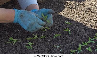Farmer dives tomato seedlings - Farmer plants tomato...