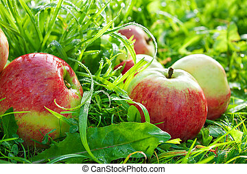 red ripe juicy apples lie on a green grass