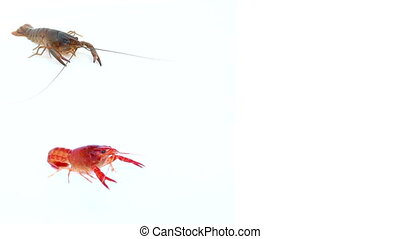 red Crayfish on isolated