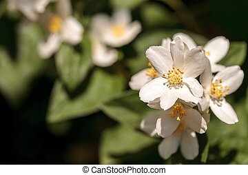 White mock orange blossom flowers, Philadelphus lewisii,...