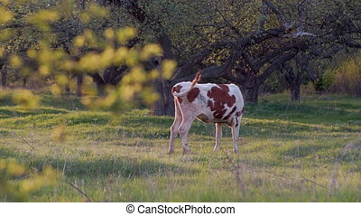 Young Calf in the Meadow - Grazing Black and White Cow in...