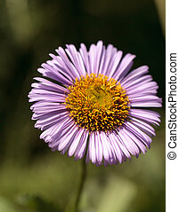 Purple Fleabane Daisy Wildflower, Erigeron annuus, in a...