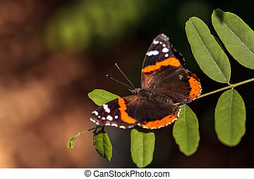 Red admiral butterfly, Vanessa atalanta, in a butterfly...