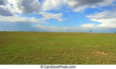 group of herbivore animals in savanna at africa - animal,...