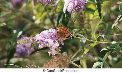 Beautiful butterfly monarch (Danaus plexippus) on a purple...