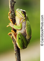 cute european tree frog climbing on twig ( Hyla arborea )