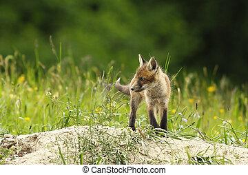 cute fox cub near the burrow ( Vulpes )