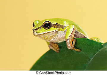 european tree frog on a leaf - european tree frog standing...