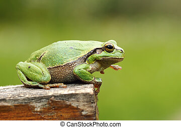 gorgeous european tree frog standing on wood stump, green...
