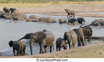 African elephant Africa safari wildlife and wilderness -...