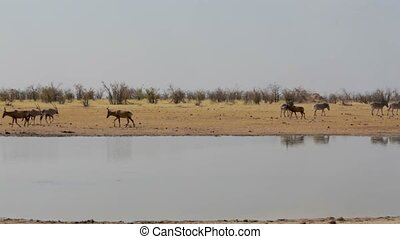 Tsessebe (Damaliscus lunatus), zebra and oryx on waterhole -...