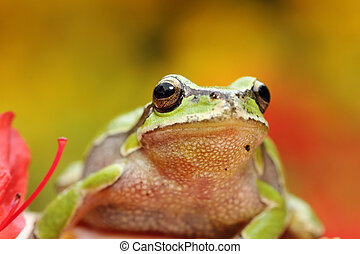 portrait of cute european tree frog ( Hyla arborea )