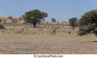 Giraffa camelopardalis in african bush, Kgalagadi...