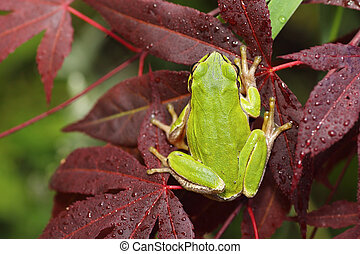 tree frog on japanese maple leaf - green tree frog standing...