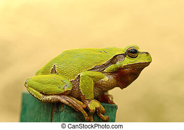 tree frog profile view - green tree frog profile view ( Hyla...