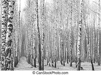Black and white photo of birch grove in autumn as beautiful...