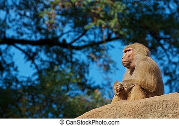 Thinking moneky - Thinking monkey is sitting on a stone and...