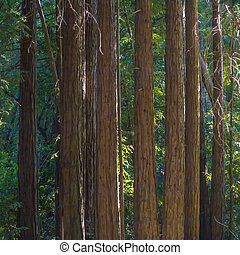 detail of sequoia trees in Pfeiffer Big Sur State Park -...