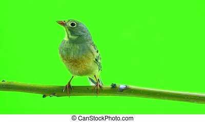 ortolan (Emberiza hortulana) isolated on a green background...