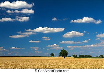 Cornfield with blue skies in Pfalz, Germany