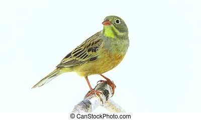 ortolan (Emberiza hortulana) isolated on a white background...
