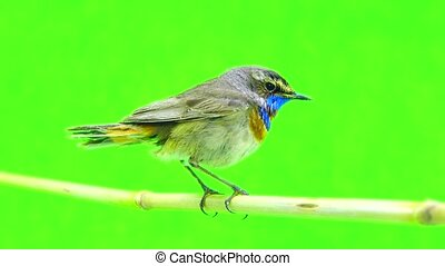 bluethroat (Luscinia svecica) isolated on a green background...