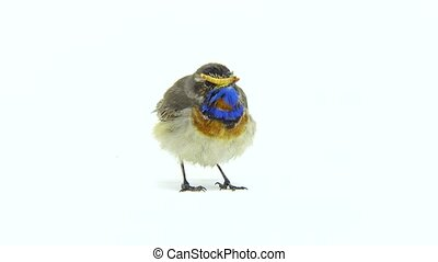 bluethroat (Luscinia svecica) isolated on a white background...
