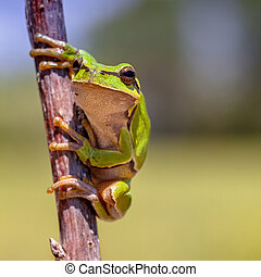 Looking European tree frog - European tree frog (Hyla...