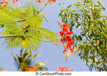 flowers of delonix regia or flame tree outdoors - gardening,...