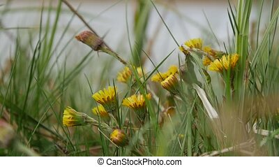 Natural background. Yellows flowers coltsfoot grows and...