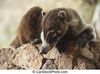 Coati Relaxing on a Rock Wall - Male white nosed coati lays...