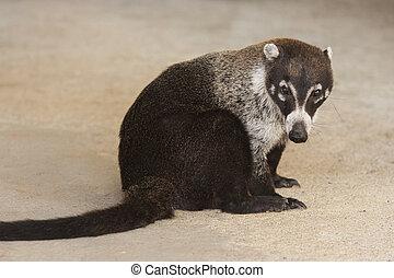 Male White Nosed Coatimundi - Male white nosed coati sits...