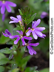 Common Fan-Flower lat Scaevola aemula