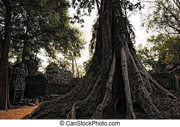 Trunk - huge tree trunk in Siem Reap