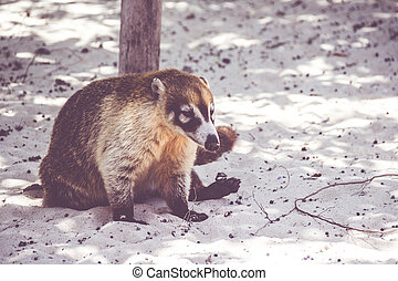 fotografía,  coati, mexicano, Maya,  animal