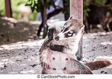 Mexican mayan Coati animal photograph - Photograph of a...