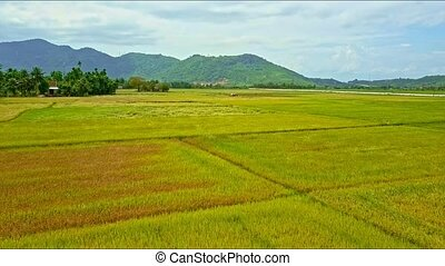 Aerial View Motion Over Wide Rice Fields to Driving Tractor