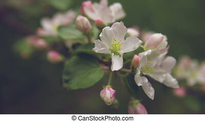 Apple twig with flowers and a bud.