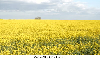 Sunny Farmland Blooming Rapeseed Canola Crops Spring Gimbal...