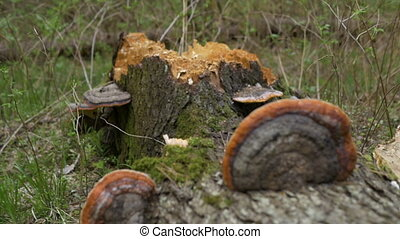 The trunk of a dead tree on which grow tree mushrooms....