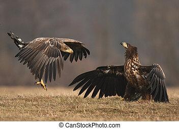 White tailed Eagle (Haliaeetus albicilla) - White tailed...