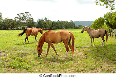 Grazing horses in a field - Horses grazing on grass in a...