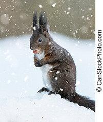 Red Squirrel (Sciurus vulgaris) - dark fur variety