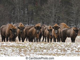 European bisons (Bison bonasus)