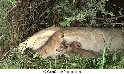 Wild Little Lion eating mothers milk mammal africa savannah...