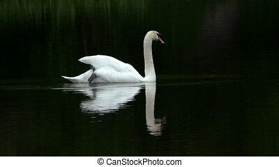 Mute swan swimming in dark water - Mute swan swimming in...