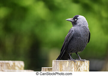 Adult jackdaw - Side view of an adult jackdaw perched on a...