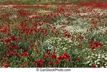 A field of blooming bright red poppies.